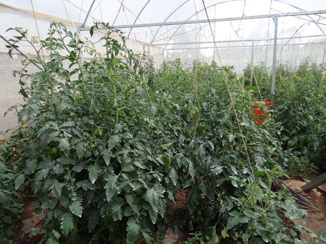Tomaten-2013.jpg